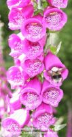 Digitalis_purpurea
