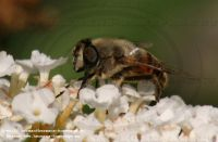 Eristalis_unknown