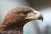 Several_FalconerGolden_Eagle