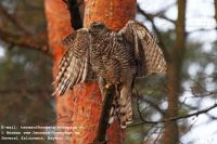 Hawking_Rabbits_2011Northern_Goshawk