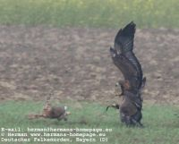 Deutscher_Falkenorden_BayernNorthern_Goshawk-Golden_Eagle
