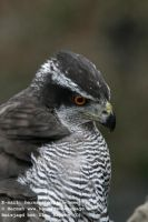 Several_FalconerNorthern_Goshawk-Peregrine_Falcon