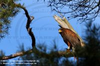 Several_FalconerHarris_Hawk