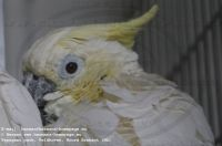 Cacatua sulphurea occidentalis
