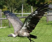 (African) white backed vulture (Gyps africanus)