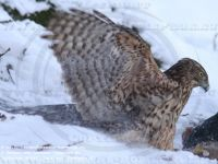 (Northern) Goshawk (Accipiter gentilis)