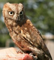 (Common/Eurasian) Scops Owl (Otus scops)