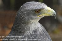 Black-chested eagle-bussard (Geranoetus melanoleucus)