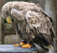 White-tailed (Sea) Eagle (Haliaeetus albicilla)